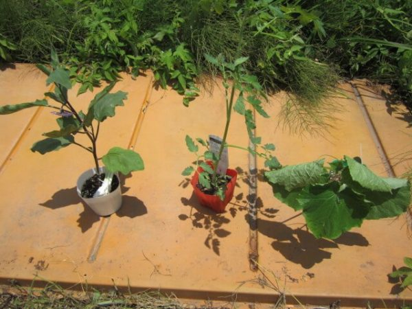 並べられた野菜の苗たち