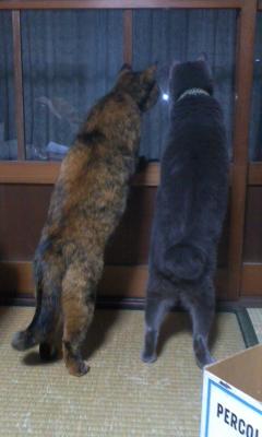 二本足で立つ灰色猫とさび猫の画像