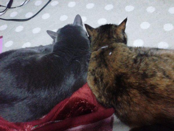 寄り添う灰色猫とさび猫の画像