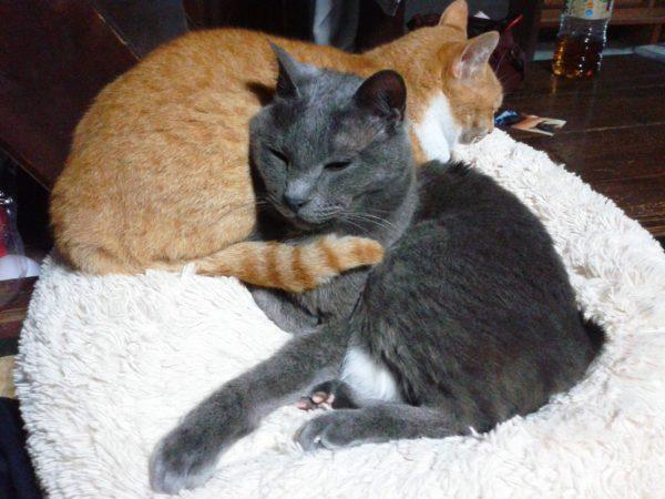 寄り添う灰色猫と黄色猫の画像