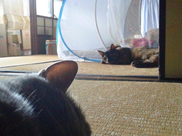畳の上で行き倒れる灰色猫とさび猫の画像