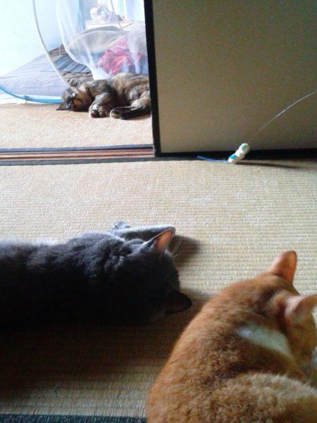 畳の上で行き倒れる灰色猫とさび猫と黄色猫の画像