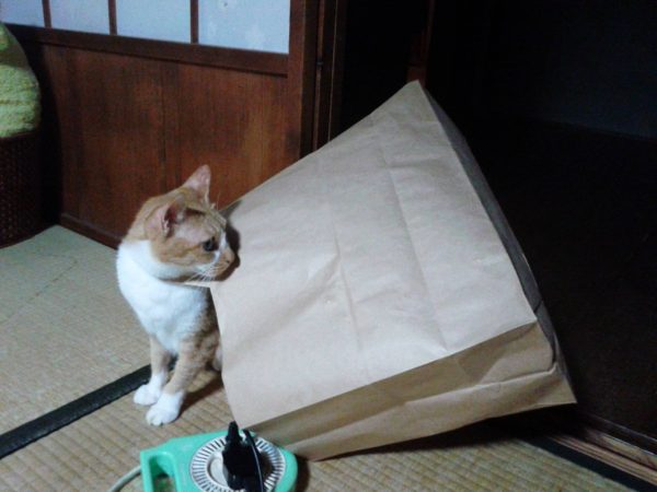 ヤドカリと化した黄色猫その2