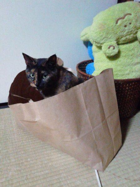 紙袋に入るさび猫