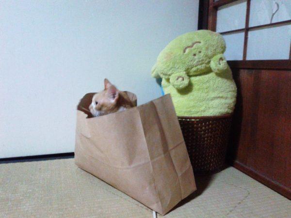 紙袋に入る黄色猫