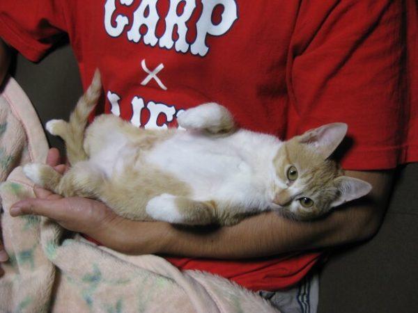 旦那に抱かれる黄色猫