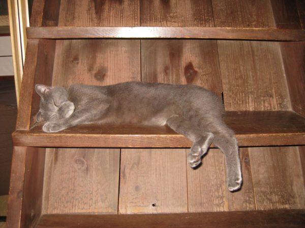 古民家の階段で寝る灰色猫の画像