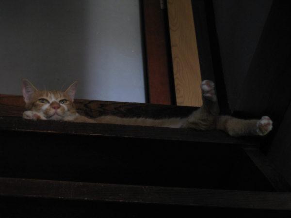 古民家の階段の上から人間を蔑む黄色猫の画像その2