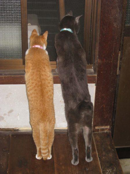 二本足で立つ灰色猫と黄色猫の画像