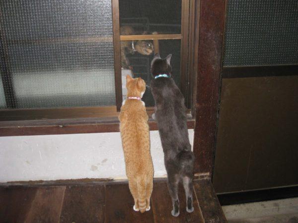 二本足で立つ灰色猫と黄色猫の画像その2