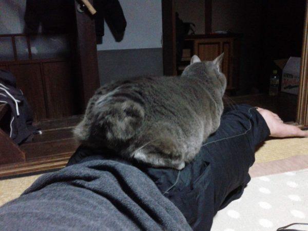 父ちゃんの上に乗って寝てる灰色猫ししゃも