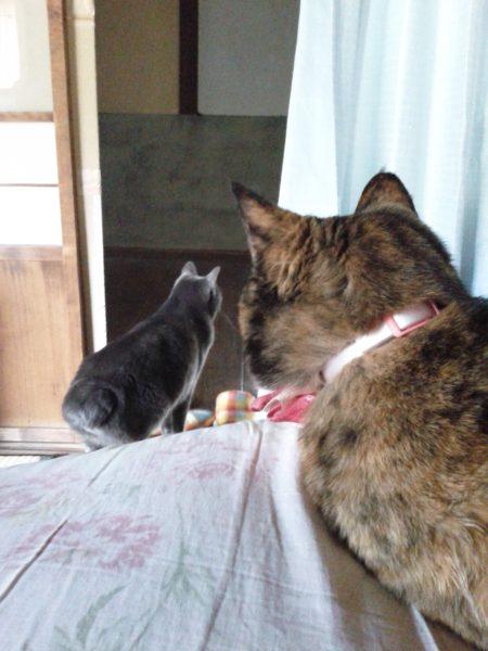 灰色猫を二度見するさび猫その3