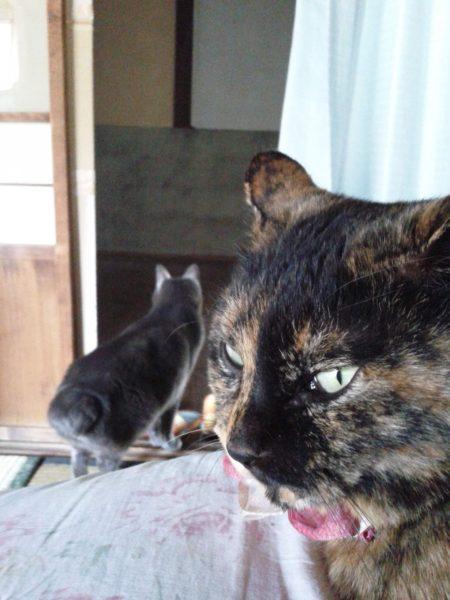 灰色猫を二度見するさび猫その2