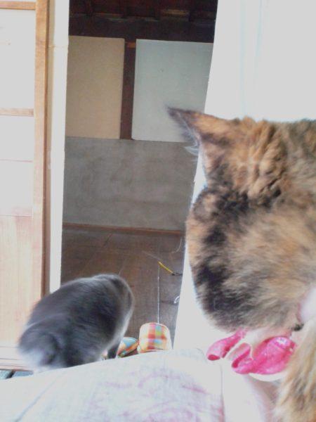 灰色猫を二度見するさび猫