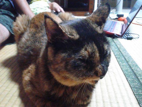右頬が腫れたさび猫の画像