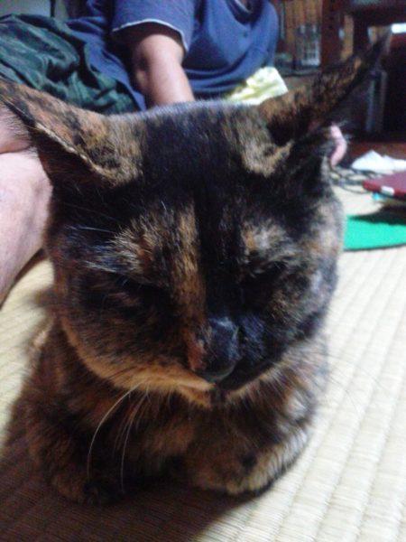 右頬が腫れたさび猫の画像その2