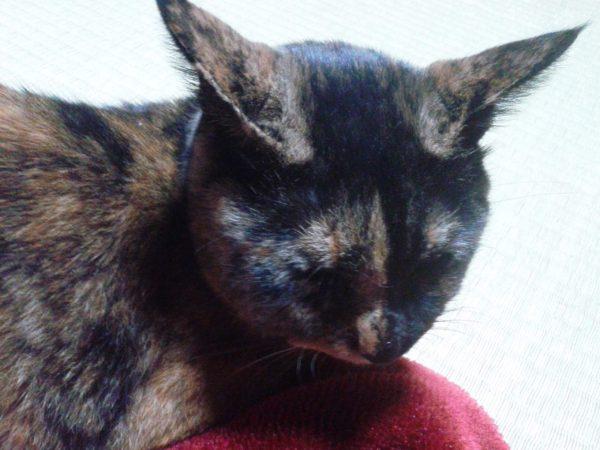 右頬が腫れたさび猫の画像その3