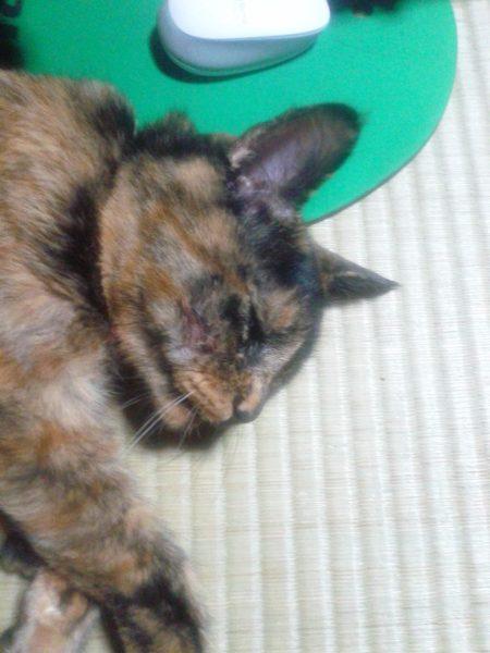 頬から膿が出て、その後治ったさび猫