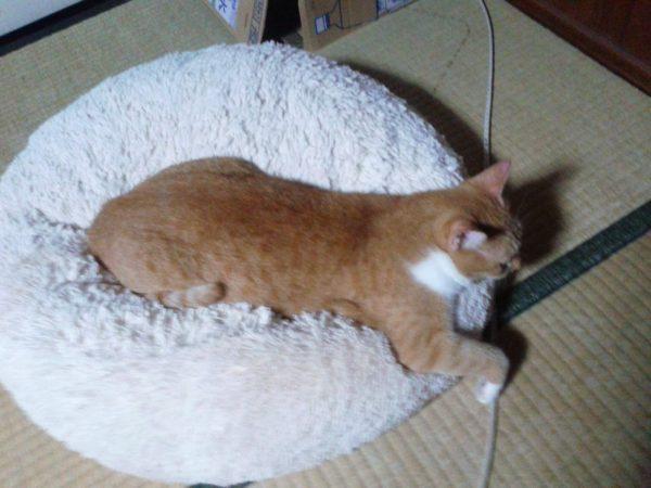 へんな恰好でくつろぐ黄色猫その2