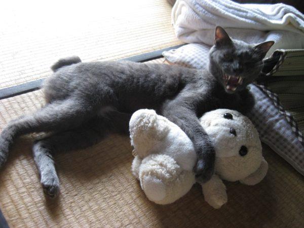 最高に悪魔的な顔してる灰色猫