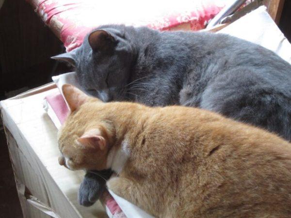 黄色猫に腕枕する灰色猫