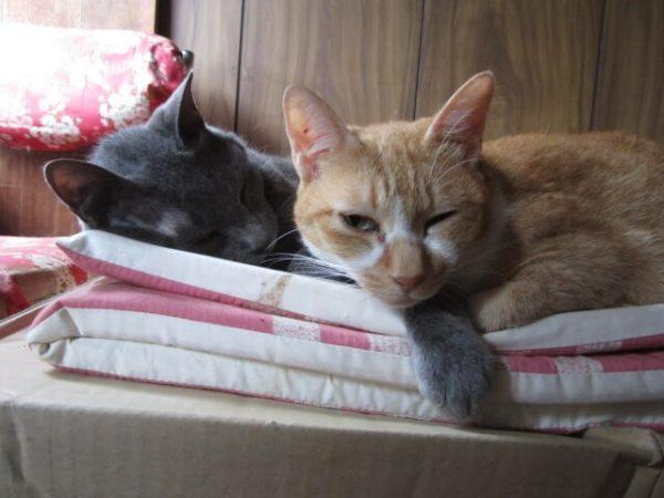 黄色猫に腕枕する灰色猫その2