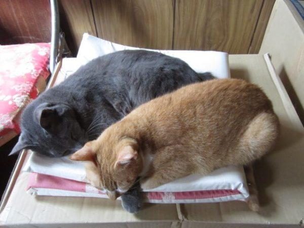 腕枕してる灰色猫