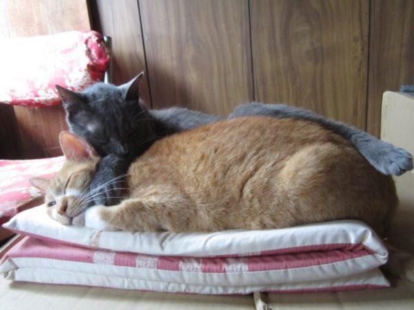 黄色猫とひっついてる灰色猫