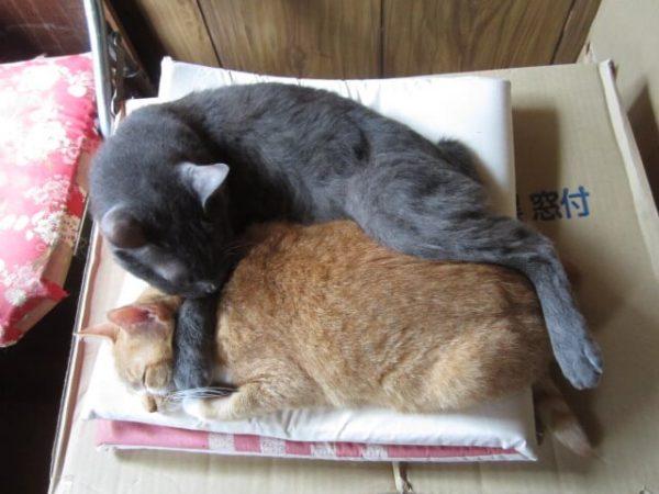 黄色猫に覆いかぶさって寝る灰色猫