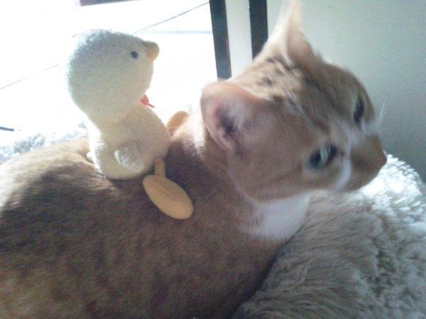 ひよこを背中に乗せた黄色猫きなこ