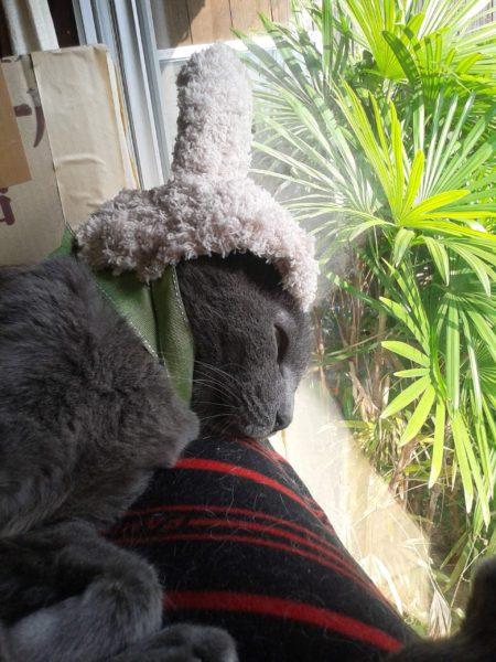 ウサギの被り物した灰色猫ししゃも
