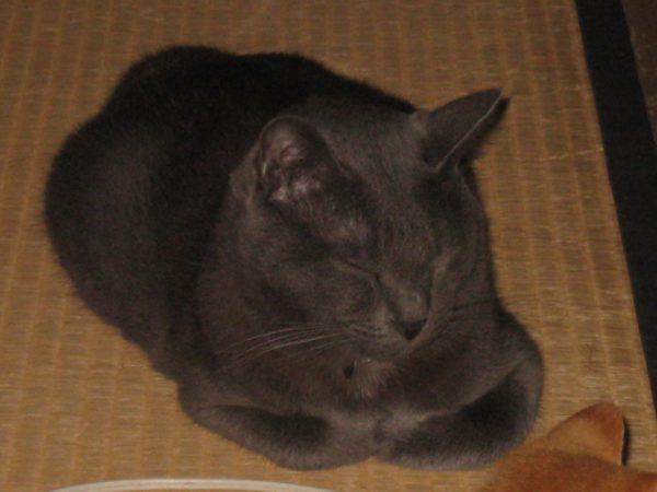 悪魔的でない、灰色猫の画像