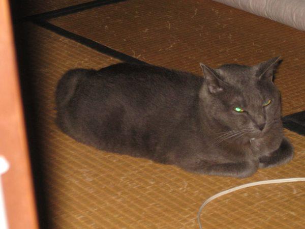 悪魔的な顔で写真に写る灰色猫