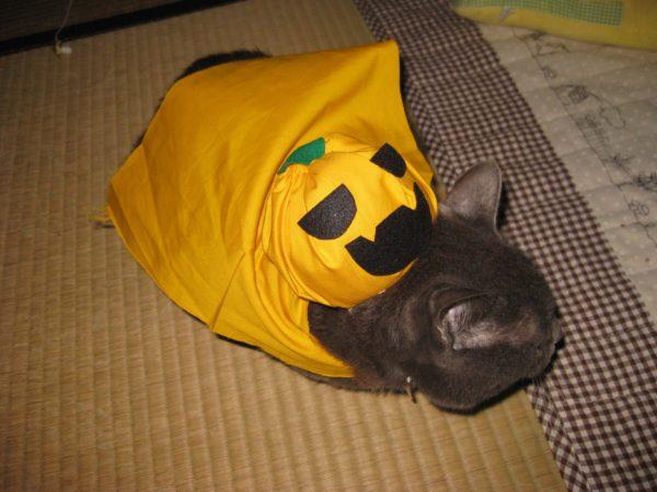 ハロウィーンにカボチャマンと化した灰色猫