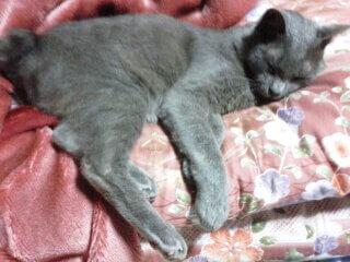 お布団に寝る灰色猫ししゃも
