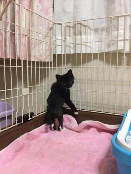 ねずみとりもちに引っかかっていた所を保護された黒子猫