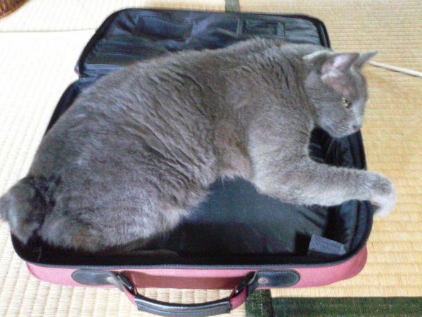 パソコンケースの中にすっぽり収まる灰色猫ししゃも