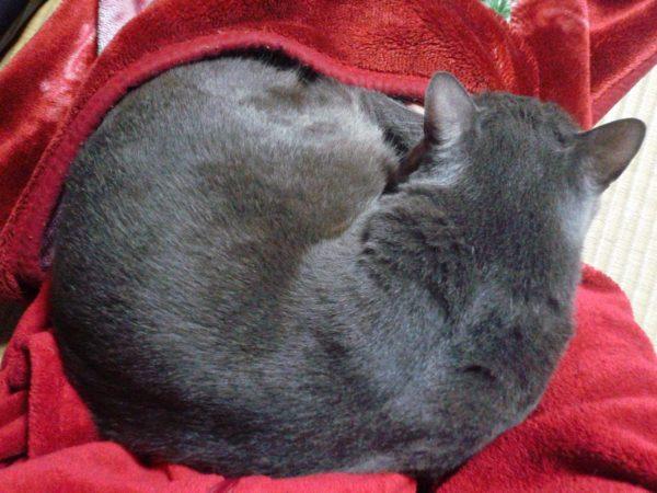 ニャンモナイトになっている灰色猫ししゃも