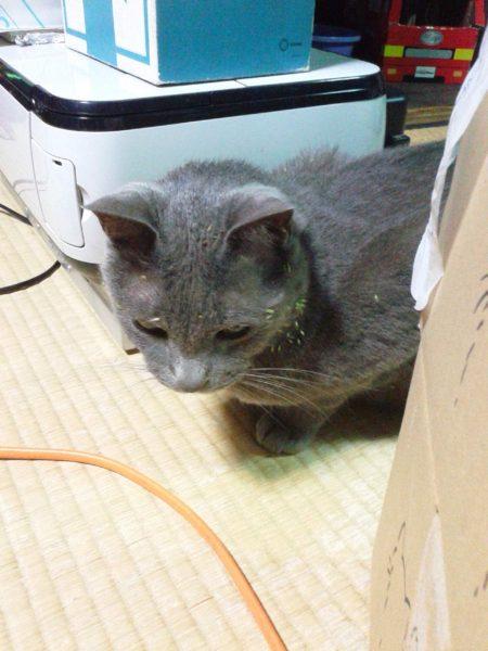 脱走して引っ付き虫だらけの灰色猫ししゃも