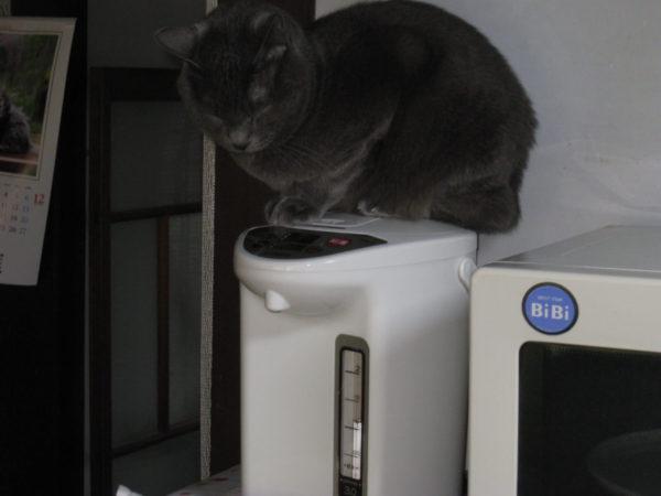 ポットに乗ってお尻を暖める妖怪、灰色猫ししゃも
