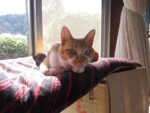 灰色猫ししゃもとさび猫しめじの喧嘩を特等席で眺める黄色猫きなこ
