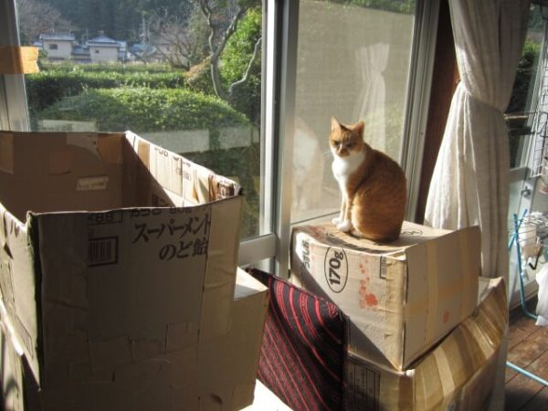 きなこ城が倒壊しても冷静沈着な黄色猫きなこ