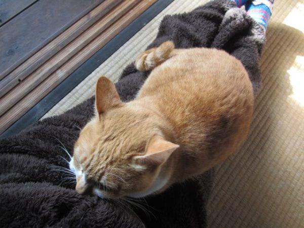 普段ヒトに甘えないのに、猫缶の前日だけすごく甘えてくる黄色猫きなこ