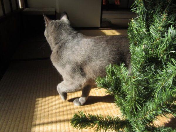 11月半ばだけど猫と一緒にクリスマスツリー出してみた