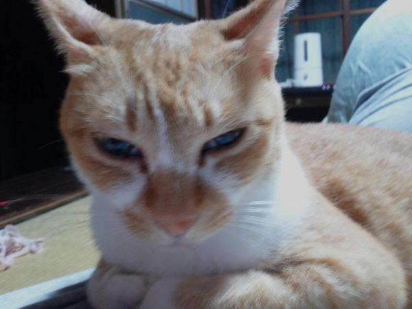 モフモフをフミフミして涎を垂らす黄色猫きなこ