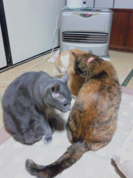 ファンヒーターの前に陣取る3匹の猫たち