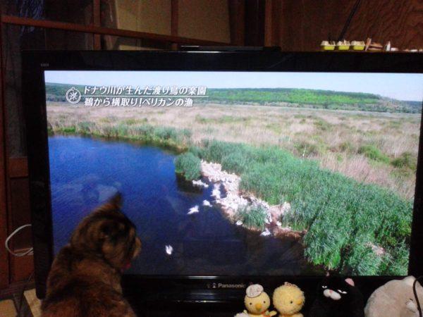 テレビの旅番組に興味津々のさび猫しめじ