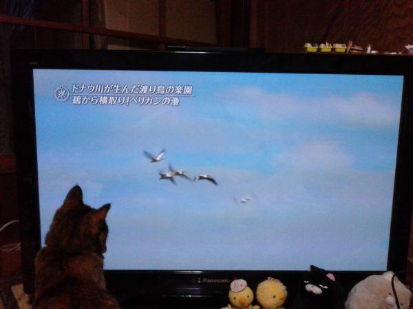 テレビに映るペリカンに興味津々のさび猫しめじ