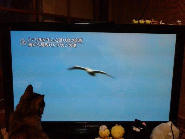 テレビに映る鳥を目で追うさび猫しめじ