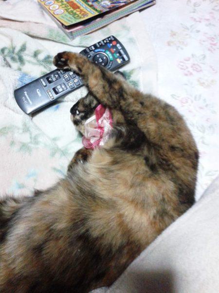 テレビのリモコンを独り占めするさび猫しめじ